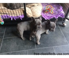 beautiful French bulldogs pups for sale