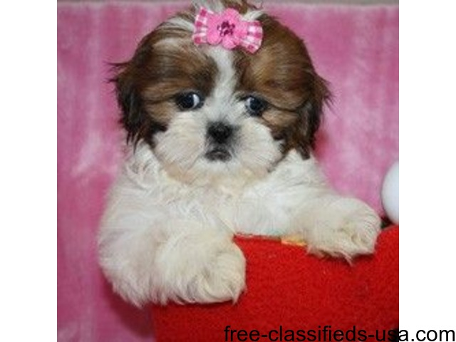 X Mass Home Trained Shih Tzu Puppies Animals Texas City Texas