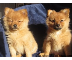 pomeranian pups are now ready to leave home.