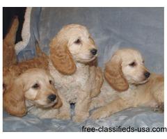 Miniature Cockapoo Puppies for adoption