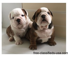 Ready Now - Kc Registered English Bulldog Puppies