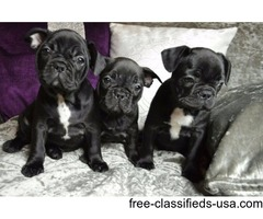 French bulldog Puppies Looking For Loving Homes**