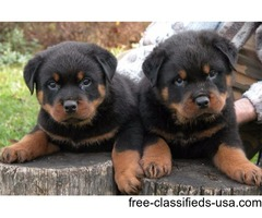 Marvelous Rottweiler  Puppies For sale.