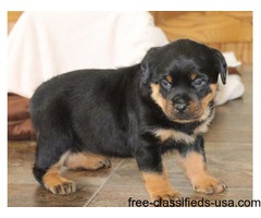 Beautiful  Rottweiler  puppies.