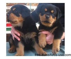 Out Standing Rottweiler Puppies Available.