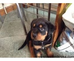 Male and female Excellent  Rottweiler Puppies.