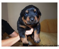 Two Purebred Rottweiler  Puppies Available