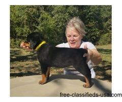 Home Trained  Rottweiler Puppies Available