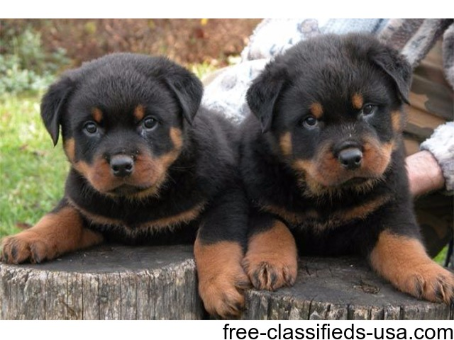 Marvelous Rottweiler  Puppies For sale. | free-classifieds-usa.com