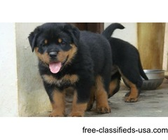 Charming male and female Rottweiler  Puppies