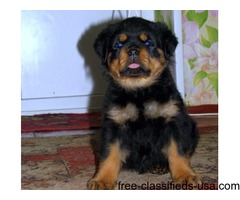 Affectionate male and female Rottweiler puppies