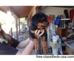 Two male and female adorable Rottweiler  puppies!!