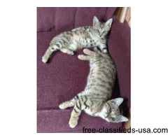 3/4 Bengal 1/4 Coon Kittens