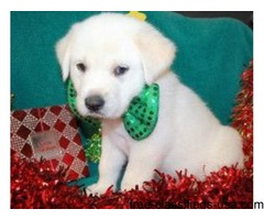 Pyredoodle Puppies for Sale (Great Pyrenees/Standard Poodle)