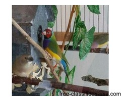 Lady Gouldian Rainbow Finches