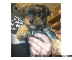 Registered Yorkie Puppies
