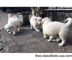 AKC English Cream Golden retriever Puppies