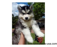 Christmas Male and Female Husky Pups Available.