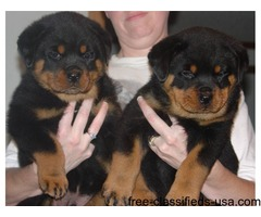 Christmas Rottweiler Puppies for adoption