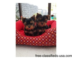 Excellent Teacup Yorkie Puppies for Christmas Gift