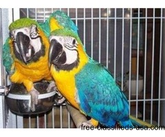 Adorable and well Tamed Blue and Gold macaw parrots