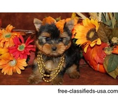 Yorkie puppies for re homing	Text: (423) x 430 x 8594