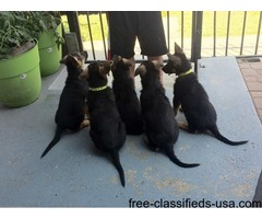 House Trained German Shepherd Puppies