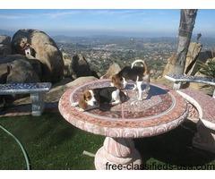 Playful Beagle Puppies.
