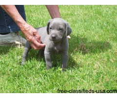 Blue Weimaraner Puppies