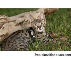 Cute TICA F1 Savannah Kittens