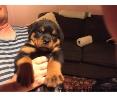 Rottweiler Pups 3 Dogs 4 Bitches For Sale Co Down.