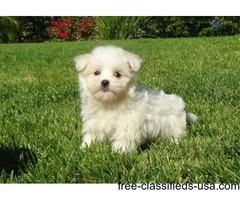 Maltese puppy t-cup for sale.