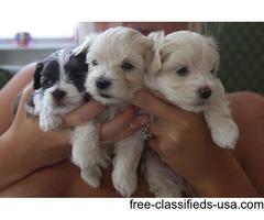 Charming  AKC Tea-Cup Maltese Puppies
