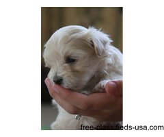 Awesome AKC Tea-Cup Maltese Puppies