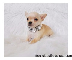 gentle chihuahua puppies adoption for a lovely home