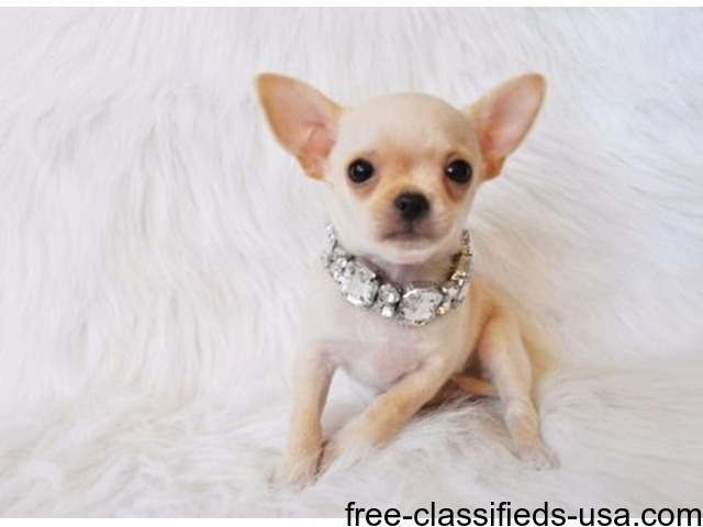 Healthy Chihuahua Puppies Adoption For A Lovely Home Animals Los