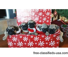 AKC Pug Puppies