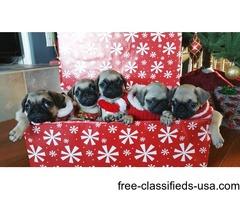 AKC Pug Puppies | free-classifieds-usa.com