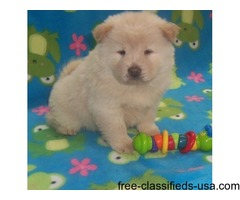 Reminisce coco Kc Reg Cinnimon Chow Chow puppies