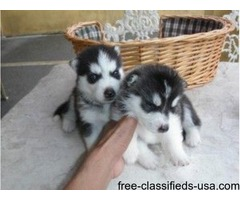 AKC Siberian Husky Available now for summer gift
