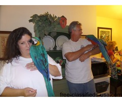 Beautiful Blue and Gold Macaws Available now for your home,