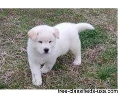Katamulema Pure White Akita Pups