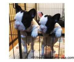 AKC quality French Bulldog Puppy for sale for summer gift