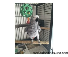 A Pair of Talking African Grey Parrots | free-classifieds-usa.com
