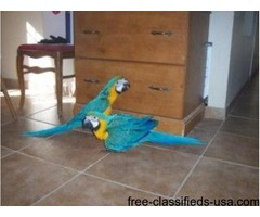 Talking Macaw Parrots Available.