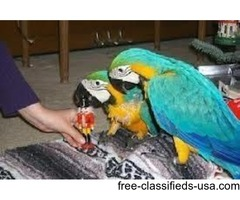 Male and Female blue and gold macaw loves and Need Care