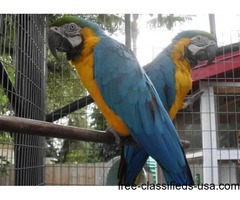 Lovely blue and gold macaw now available