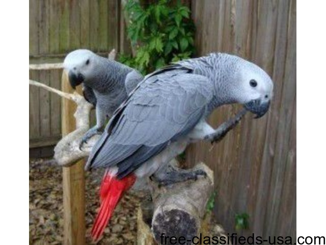 PAIR of AFRICAN GREY PARROTS for sale - Animals - Yakutat