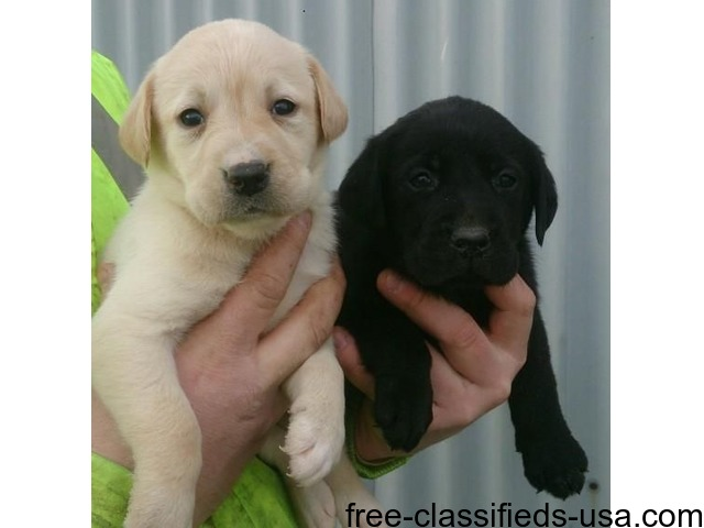 I Have 3 Labrador Puppies Available For Sale Animals Brooklyn