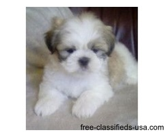 I have Male And Female shih tzu puppies